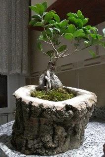 Ahşap kütük içerisinde ginseng bonsai  Kırklareli İnternetten çiçek siparişi