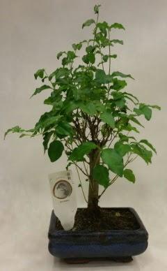 Minyatür bonsai japon ağacı satışı  Kırklareli hediye sevgilime hediye çiçek