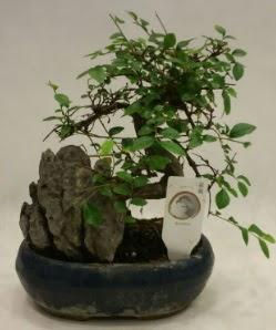 İthal 1.ci kalite bonsai japon ağacı  Kırklareli çiçek online çiçek siparişi