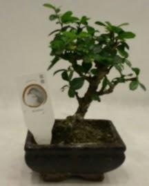 Küçük minyatür bonsai japon ağacı  Kırklareli anneler günü çiçek yolla