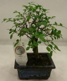 Minyatür ithal japon ağacı bonsai bitkisi  Kırklareli çiçek online çiçek siparişi