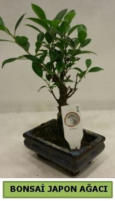 Bonsai japon ağacı saksı bitkisi  Kırklareli çiçek siparişi sitesi