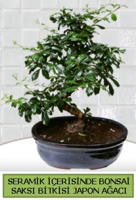 Seramik vazoda bonsai japon ağacı bitkisi  Kırklareli yurtiçi ve yurtdışı çiçek siparişi