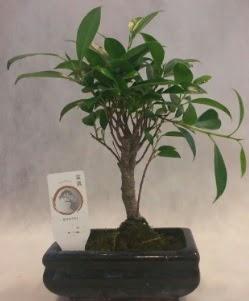Bonsai japon ağacı bitkisi satışı  Kırklareli uluslararası çiçek gönderme