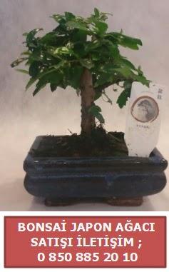 Japon ağacı minyaür bonsai satışı  Kırklareli çiçek online çiçek siparişi