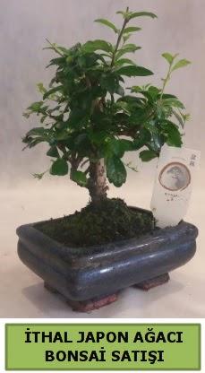 İthal japon ağacı bonsai bitkisi satışı  Kırklareli hediye sevgilime hediye çiçek