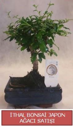 İthal küçük boy minyatür bonsai ağaç bitkisi  Kırklareli hediye sevgilime hediye çiçek