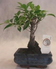Bonsai ağacı japon ağaç bitkisi  Kırklareli 14 şubat sevgililer günü çiçek