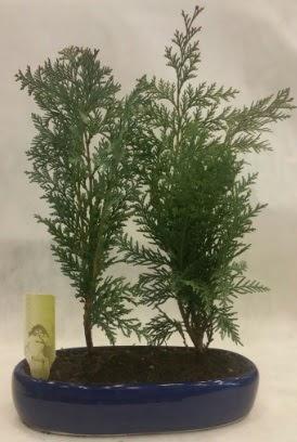 SINIRLI SAYIDA Selvi Ağacı bonsai ikili  Kırklareli hediye sevgilime hediye çiçek