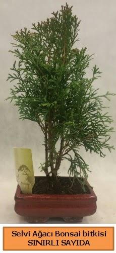 Selvi ağacı bonsai japon ağacı bitkisi  Kırklareli çiçek online çiçek siparişi