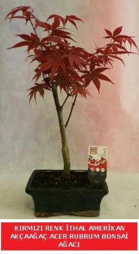 İTHAL ACER RUBRUM BONSAİ AĞACI  Kırklareli uluslararası çiçek gönderme