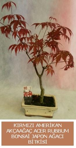Amerikan akçaağaç Acer Rubrum bonsai  Kırklareli çiçek satışı