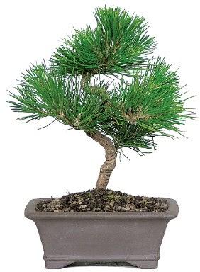 Çam ağacı bonsai japon ağacı bitkisi  Kırklareli anneler günü çiçek yolla