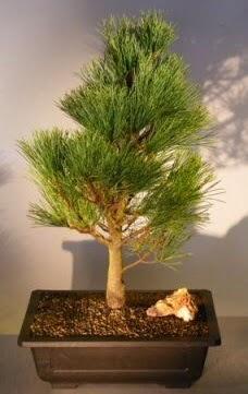 Çam ağacı japon ağacı bitkisi bonsai  Kırklareli hediye sevgilime hediye çiçek