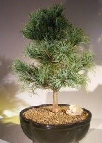 Çam ağacı bonsai bitkisi satışı  Kırklareli çiçek mağazası , çiçekçi adresleri