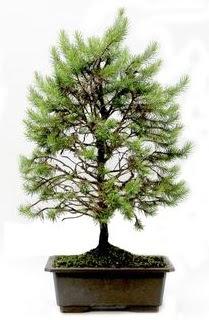 *** STOKTA YOK - Çam ağacı bonsai bitkisi satışı  Kırklareli çiçekçi telefonları