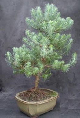 Bonsai çam ağacı japon ağacı bitkisi  Kırklareli uluslararası çiçek gönderme
