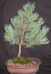 Bonsai çam ağacı japon ağacı bitkisi  Kırklareli yurtiçi ve yurtdışı çiçek siparişi