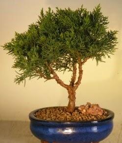 Servi çam bonsai japon ağacı bitkisi  Kırklareli 14 şubat sevgililer günü çiçek