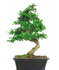 Bonsai bitkisi satışı  Kırklareli hediye sevgilime hediye çiçek