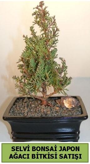 Selvi çam japon ağacı bitkisi bonsai  Kırklareli hediye sevgilime hediye çiçek