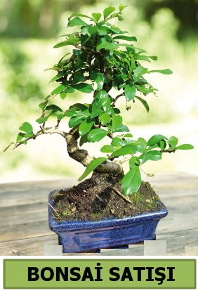 Çam bonsai japon ağacı satışı  Kırklareli çiçek online çiçek siparişi