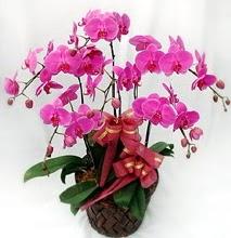 Sepet içerisinde 5 dallı lila orkide  Kırklareli çiçek mağazası , çiçekçi adresleri