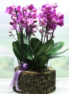 Kütük içerisinde 6 dallı mor orkide  Kırklareli çiçek mağazası , çiçekçi adresleri