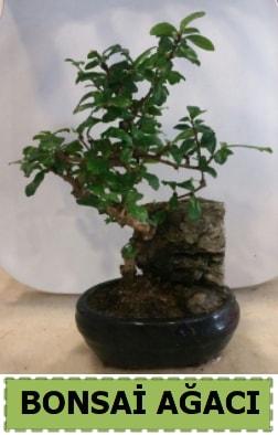 Bonsai ağacı japon ağacı satışı  Kırklareli kaliteli taze ve ucuz çiçekler