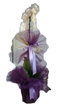 Tek dallı beyaz orkide süper kalite ithal  Kırklareli yurtiçi ve yurtdışı çiçek siparişi