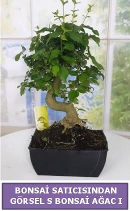 S dal eğriliği bonsai japon ağacı  Kırklareli çiçek online çiçek siparişi