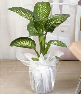 Tropik saksı çiçeği bitkisi  Kırklareli çiçek online çiçek siparişi