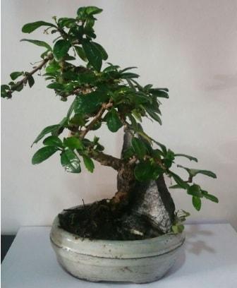 S şeklinde ithal bonsai ağacı  Kırklareli 14 şubat sevgililer günü çiçek