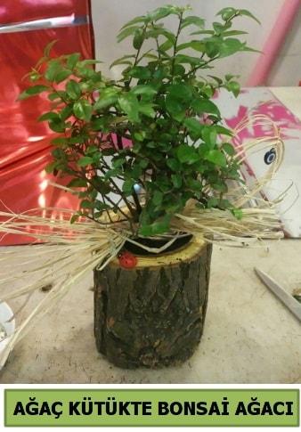 Doğal ağaç kütük içerisinde bonsai ağacı  Kırklareli uluslararası çiçek gönderme