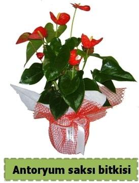 Antoryum saksı bitkisi satışı  Kırklareli çiçek servisi , çiçekçi adresleri