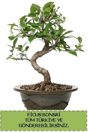 Ficus bonsai  Kırklareli uluslararası çiçek gönderme