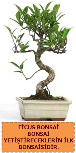 Ficus bonsai 15 ile 25 cm arasındadır  Kırklareli 14 şubat sevgililer günü çiçek