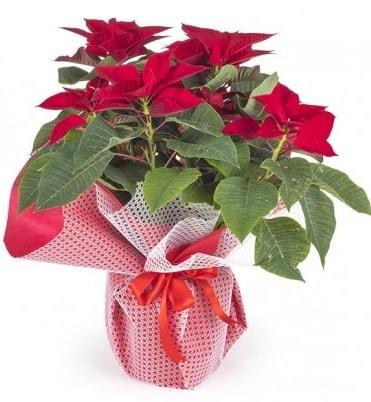 Atatürk çiçeği saksı bitkisi  Kırklareli uluslararası çiçek gönderme
