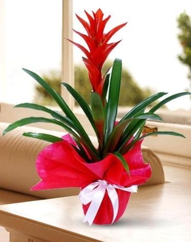 Guzmanya Saksı Çiçeği  Kırklareli 14 şubat sevgililer günü çiçek