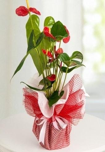 Anthurium Saksı Çiçeği  Kırklareli kaliteli taze ve ucuz çiçekler