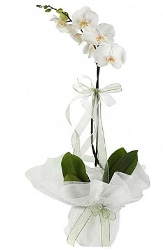 Tekli Beyaz Orkide  Kırklareli kaliteli taze ve ucuz çiçekler