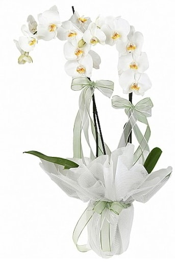 Çift Dallı Beyaz Orkide  Kırklareli ucuz çiçek gönder