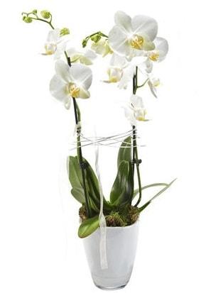 2 dallı beyaz seramik beyaz orkide saksısı  Kırklareli uluslararası çiçek gönderme