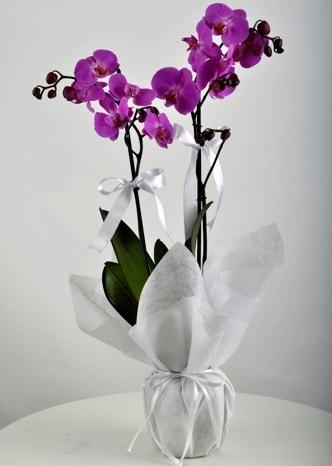 Çift dallı saksıda mor orkide çiçeği  Kırklareli çiçek gönderme sitemiz güvenlidir