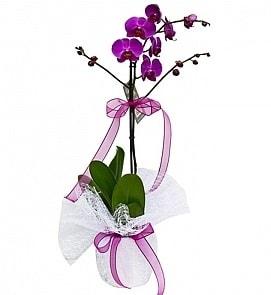 Tek dallı saksıda ithal mor orkide çiçeği  Kırklareli çiçek yolla , çiçek gönder , çiçekçi