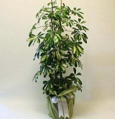 Şeflera salon bitkisi  Kırklareli anneler günü çiçek yolla