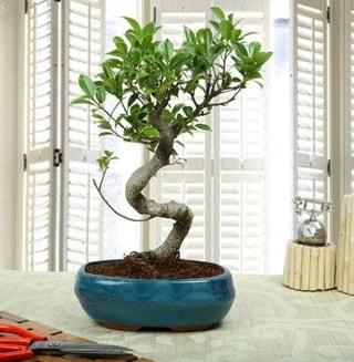 Amazing Bonsai Ficus S İthal  Kırklareli İnternetten çiçek siparişi