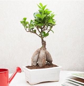 Exotic Ficus Bonsai ginseng  Kırklareli çiçek siparişi sitesi