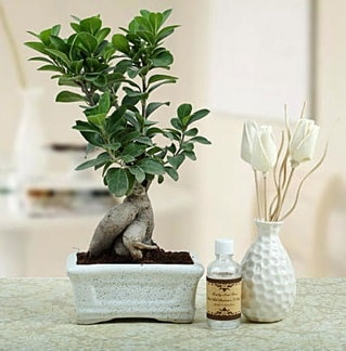 Ginseng ficus bonsai  Kırklareli çiçek yolla , çiçek gönder , çiçekçi