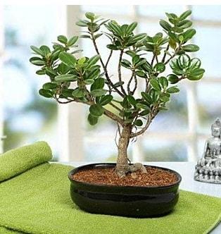 Lovely Ficus Iceland Bonsai  Kırklareli ucuz çiçek gönder